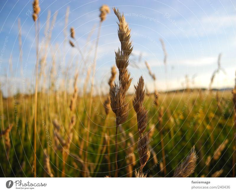 standing up straight Natur blau grün Pflanze Sommer Umwelt gelb Gras braun Feld Warmherzigkeit Idylle Schönes Wetter Halm Blauer Himmel