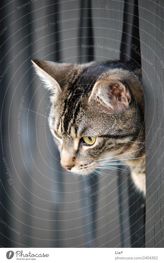 Katze schaut vom Balkon Tier Haustier 1 beobachten warten Farbfoto Blick nach unten eingesperrt Tierporträt Neugier Menschenleer