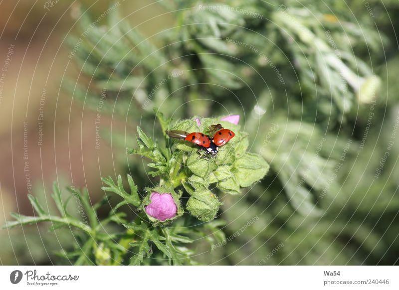 Flieg, Käfer, flieg weiß grün schön rot Pflanze Tier schwarz oben Bewegung Freiheit klein braun Stimmung rosa fliegen sitzen