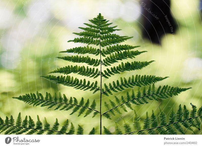 see through it Natur schön Pflanze Sommer Wald Umwelt hell ästhetisch wild natürlich einzigartig Urelemente Symmetrie Mensch Farn Echte Farne