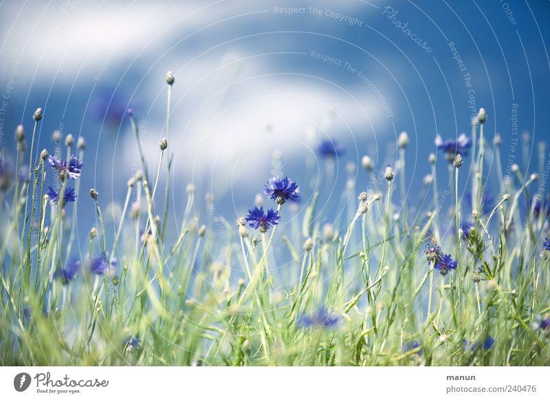 Kornblumen Natur Himmel Wolken Frühling Sommer Pflanze Blume Sträucher Blatt Blüte Feldrand authentisch natürlich schön blau Farbfoto Außenaufnahme Menschenleer