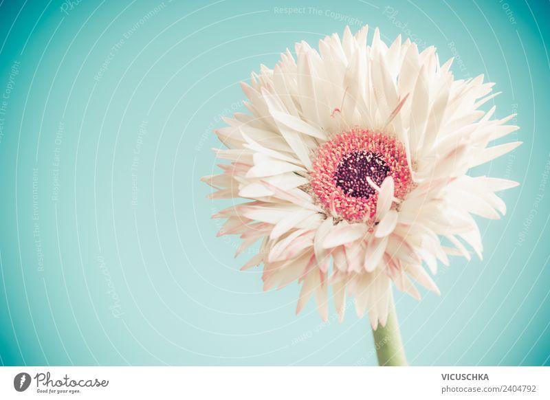Weiße Gerbera Blum auf blauem Hintergrund elegant Stil Design Sommer Valentinstag Muttertag Hochzeit Geburtstag Natur Pflanze Frühling Blume Blüte