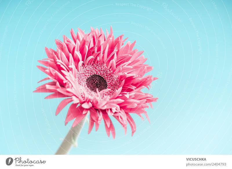 Rosa Blume auf blau Stil Design Sommer Feste & Feiern Muttertag Hochzeit Geburtstag Natur Pflanze Blüte Dekoration & Verzierung Blumenstrauß trendy rosa