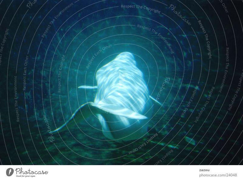 Beluga in blau Wasser Fisch Aquarium Delphine Wal Meeresfrüchte Meerestier