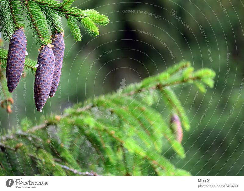 Tannenzapfen Natur Baum grün Wald Wachstum Tanne Nadelbaum Tannenzapfen