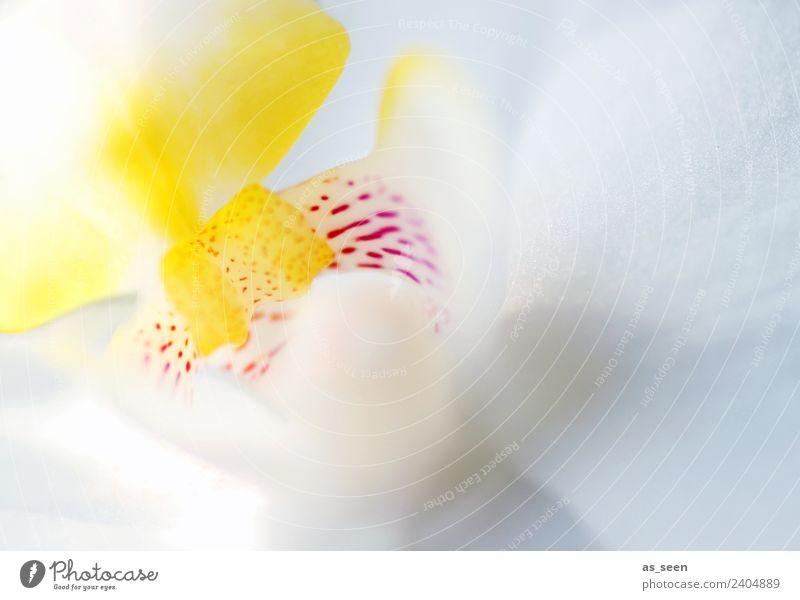Weisse Lilie Natur Sommer Pflanze schön weiß Blume Erotik Lifestyle Leben gelb Gesundheit Frühling rosa Design hell modern