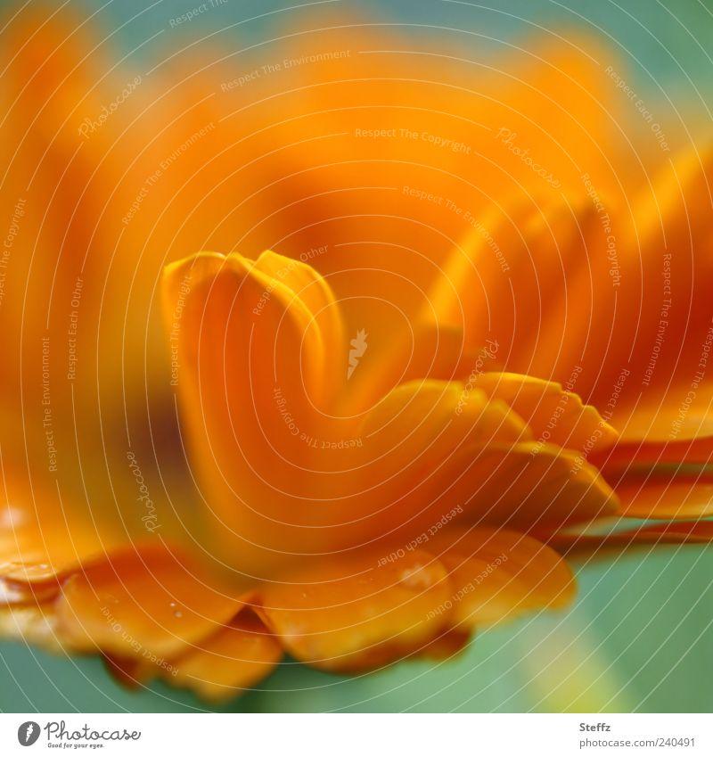 unfrisiert Natur Pflanze Blume Blüte Blütenblatt Blütenpflanze Sommerblumen Gartenpflanzen Blühend frech frisch Sommergefühl Farbe Lebensfreude orange