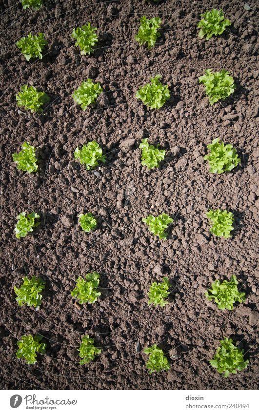 Insalata verde Natur grün Pflanze Umwelt Garten braun Erde Feld natürlich Ordnung Wachstum Bioprodukte Beet Gartenarbeit Salat Gemüse