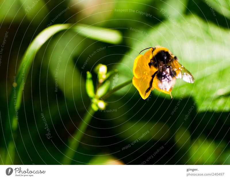 Das bisschen Übergewicht ! Umwelt Natur Pflanze Tier Sonnenlicht Frühling Sommer Blume Blüte Wildpflanze Hahnenfuß Wildtier Flügel Hummel 1 gelb grün Nektar