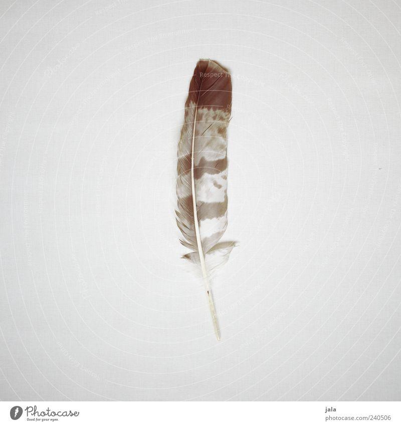 fundstück Feder ästhetisch einfach groß hell schön braun grau beige natürlich natürliche Farbe Farbfoto Gedeckte Farben Innenaufnahme Menschenleer