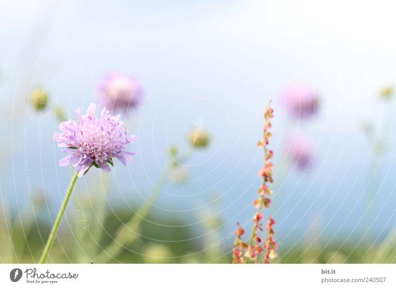 Blümchenwise Himmel Natur Ferien & Urlaub & Reisen Pflanze Sommer Erholung Blume ruhig Frühling Blüte natürlich rosa Wachstum Tourismus Geburtstag Ausflug