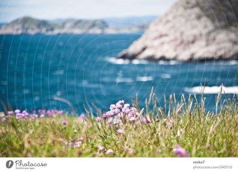 Norwegischer Süden blau Ferien & Urlaub & Reisen grün Meer Landschaft Küste Blüte Felsen Reisefotografie violett Norwegen Wildpflanze