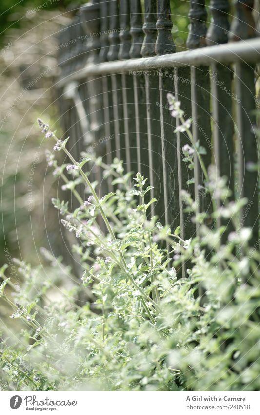 life behind bars Natur Pflanze Sommer Blume Frühling natürlich wild Wachstum Eisen Lavendel Nutzpflanze Kräuter & Gewürze Wildpflanze Metallzaun Gartenzaun