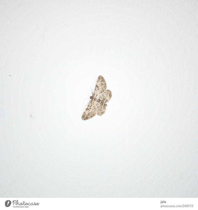 falter Tier Wildtier Flügel Schmetterling Insekt 1 ästhetisch schön braun weiß Farbfoto Gedeckte Farben Innenaufnahme Menschenleer Textfreiraum links