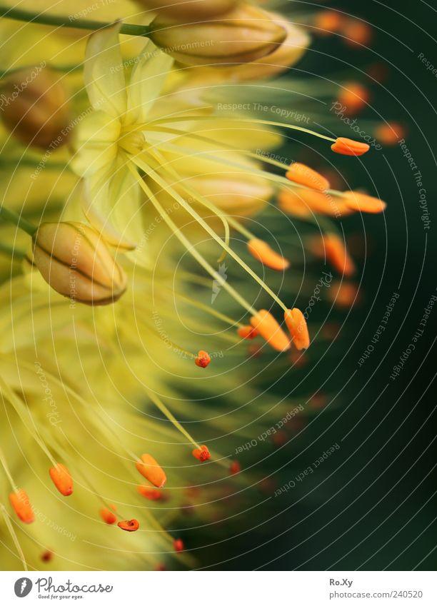 so schön und doch so giftig - die Kleopatranadel Natur Pflanze Blume exotisch Blühend Duft Wachstum blau gelb grün Gift Steppenkerze Eremurus Wüstenschweif