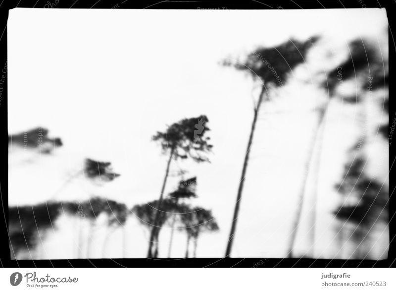 Weststrand Natur weiß Baum Pflanze schwarz Umwelt dunkel Küste Stimmung außergewöhnlich natürlich wild Rahmen Schwarzweißfoto Windflüchter