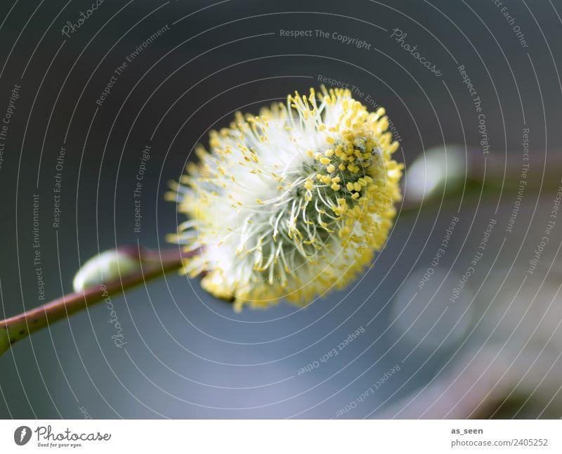 Weidenkätzchen Ausflug Garten Ostern Umwelt Natur Pflanze Frühling Klima Wetter Ast Blüte Sträucher Pollen Staubfäden Blühend authentisch Freundlichkeit weich
