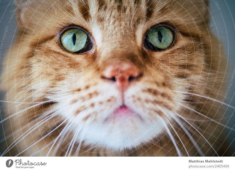 Marley Tier Haustier Katze Tiergesicht 1 Blick außergewöhnlich schön kuschlig niedlich weich grün rot Gefühle Sympathie Freundschaft Tierliebe Interesse Natur