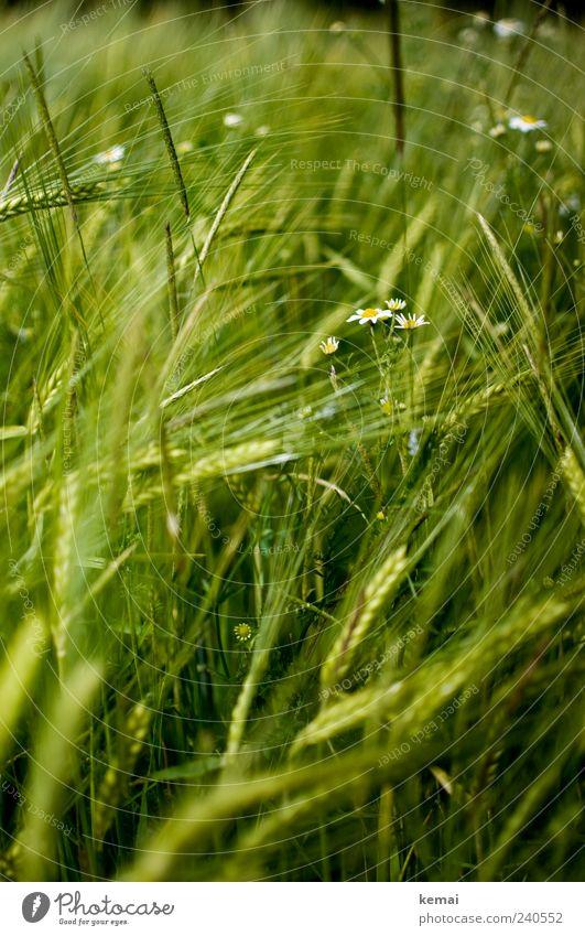 Reifendes Feld II Natur grün Pflanze Sommer Umwelt Gras Wachstum Getreide Grünpflanze Ähren Gerste Nutzpflanze Wildpflanze Kamille Gerstenfeld
