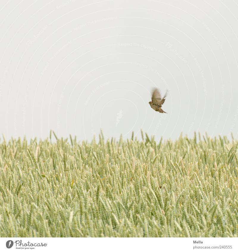 Die Leichtigkeit des Seins* Umwelt Natur Pflanze Tier Himmel Sommer Nutzpflanze Getreide Feld Getreidefeld Vogel Spatz 1 fliegen authentisch frei natürlich