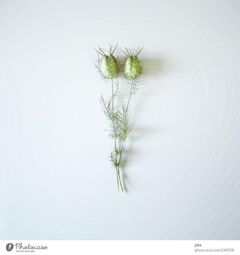 pflanze Pflanze Blume ästhetisch einfach elegant schön grau grün Farbfoto Innenaufnahme Menschenleer Textfreiraum links Textfreiraum rechts Textfreiraum oben