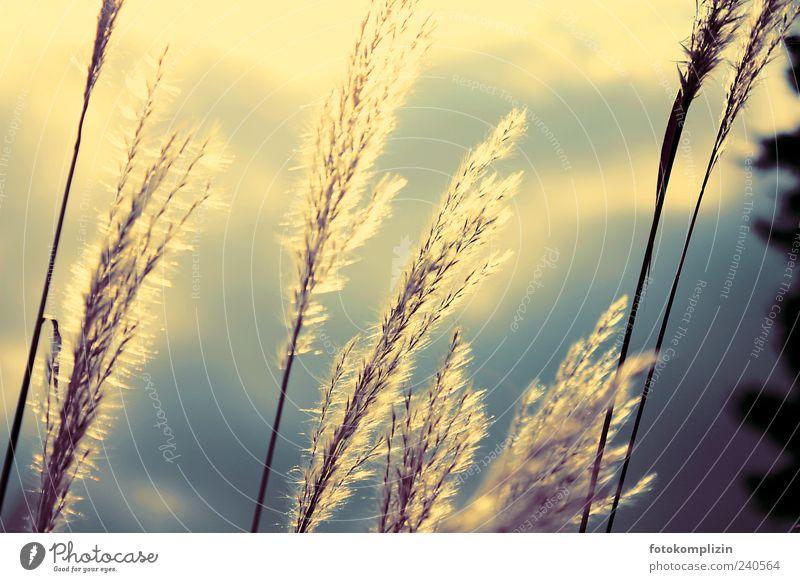 lichtgras Natur Pflanze Wolken ruhig Leben Gras Traurigkeit träumen Stimmung gold ästhetisch leuchten Sträucher Vergänglichkeit Ewigkeit Vergangenheit