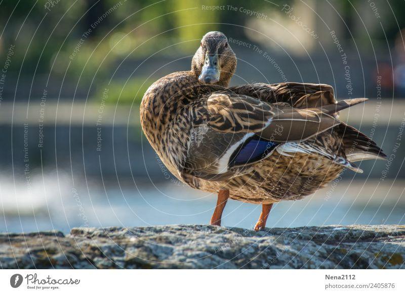 Ente II Umwelt Natur Tier Wasser Garten Park Teich See Bach Fluss Vogel braun ruhig Waschen Feder Blick Farbfoto Außenaufnahme Nahaufnahme Menschenleer