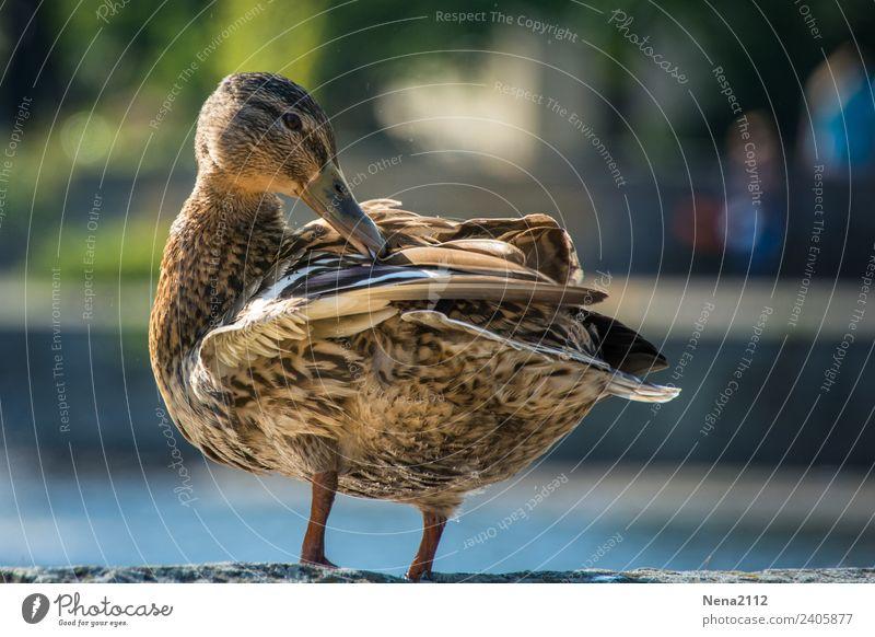 Ente III Umwelt Natur Tier Wasser Garten Park Flussufer Teich See Bach Wildtier Vogel 1 warten Sauberkeit Waschen Feder Farbfoto Außenaufnahme Menschenleer