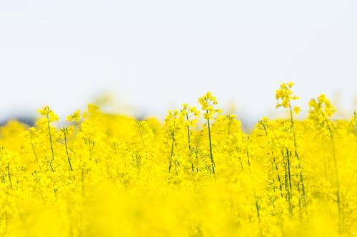 Rapsodi - Der Sommer lässt grüßen Umwelt Natur Landschaft Pflanze Tier Nutzpflanze Wiese Feld Gefühle Stimmung Freude Glück Fröhlichkeit Frühlingsgefühle