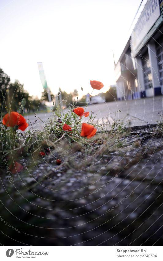 Stadtmohn schön rot Pflanze Blume schwarz Gras Stein Gebäude dreckig Wachstum Mohn Säule Moos Gegenteil Pflastersteine Überleben