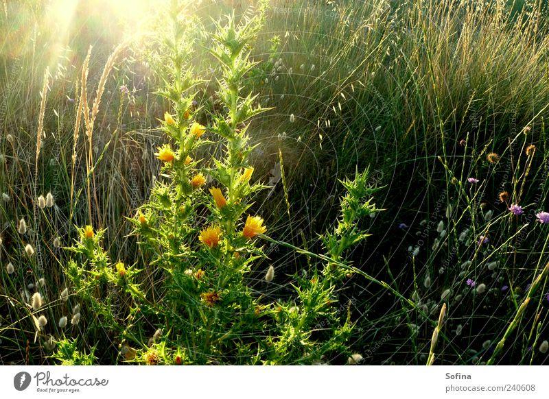 Im Morgenlicht Natur Pflanze grün schön Sommer Erholung gelb Leben Blüte Frühling Wiese Garten glänzend träumen leuchten frisch