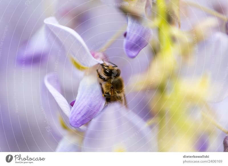 Biene Umwelt Natur Pflanze Tier Blüte Nutztier Wildtier fliegen Fressen Honigbiene Umweltschutz Umweltverschmutzung Insektensterben Bienensterben Farbfoto