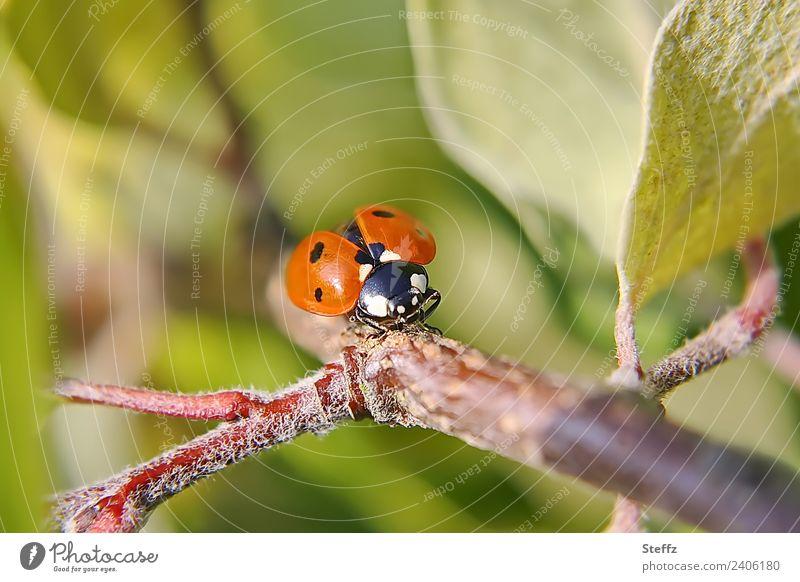 Auf der Startbahn Natur Pflanze Tier Sommer Herbst Blatt Zweig Quittenblatt Garten Käfer Flügel Marienkäfer fliegen krabbeln klein schön grün rot Sommergefühl