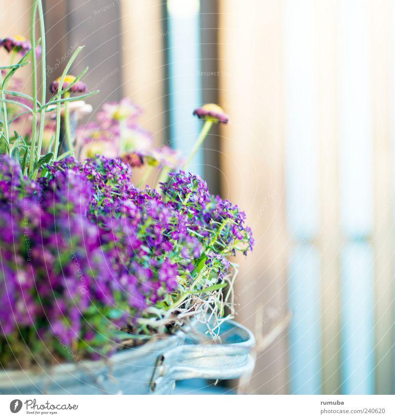 Frühlingsblumen Garten Sommer Pflanze Blume Blüte Topfpflanze Blühend schön violett rosa Blumentopf Farbfoto Außenaufnahme Nahaufnahme Textfreiraum rechts Tag