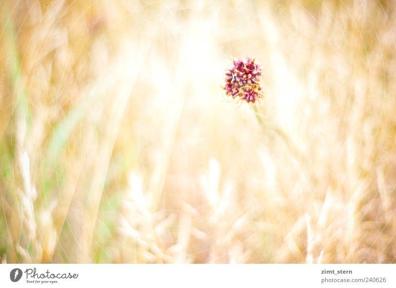 Violett und Anmut grün schön Pflanze Sommer Blume Einsamkeit gelb Wiese Gras Garten hell Feld gold rosa wild Wachstum