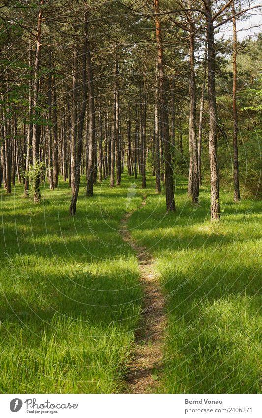 Pfad durch den Kiefernwald Umwelt Natur Landschaft Frühling Sommer Schönes Wetter Pflanze Gras Wiese Wald gehen genießen wandern hell natürlich braun grau grün