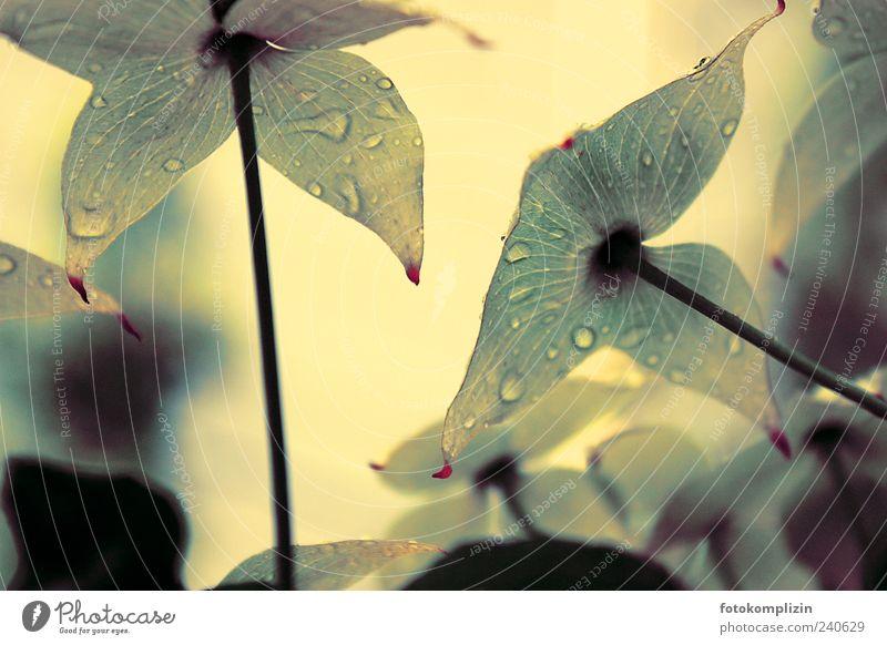 Regenblumen Garten Natur Pflanze Wasser Wassertropfen Frühling Sommer Blüte Grünpflanze exotisch Blühend Duft schön weiß Stimmung Frühlingsgefühle Hoffnung