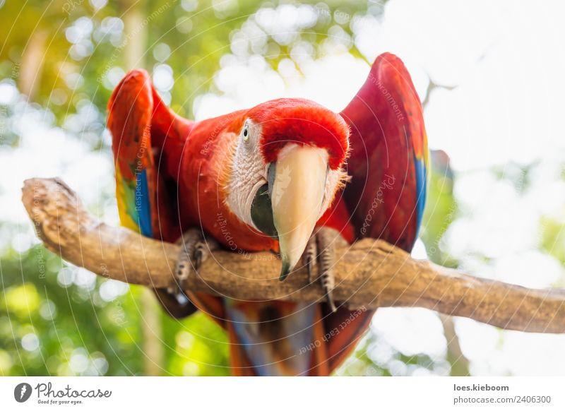 Straight looking Scarlett Macaw parrot Natur Ferien & Urlaub & Reisen Sommer Tier lustig Tourismus Vogel Abenteuer exotisch Papageienvogel Ara Honduras