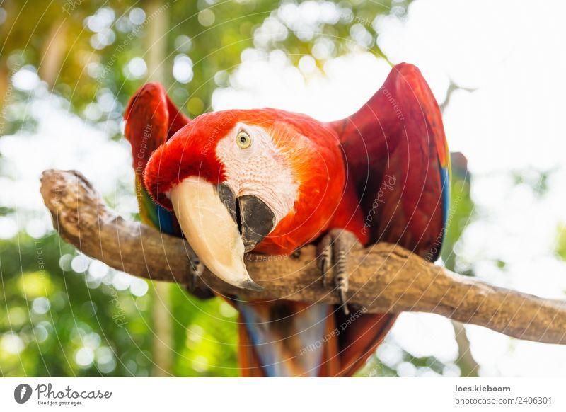 Playful looking Scarlett Macaw parrot Natur Ferien & Urlaub & Reisen Sommer Tier Spielen Tourismus Vogel exotisch Tiergesicht Papageienvogel Ara Honduras