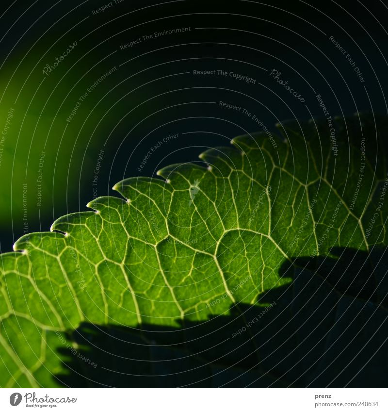 Licht und Schatten 1 Natur grün Pflanze Blatt Umwelt Linie Ecke Blattadern Zacken durchscheinend