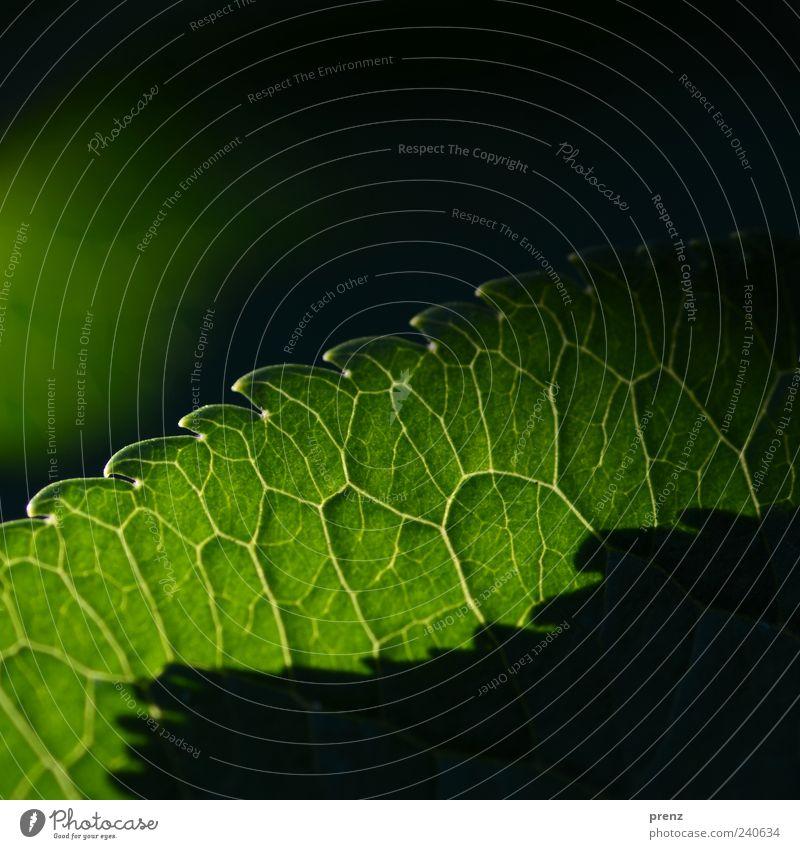 Licht und Schatten 1 Umwelt Natur Pflanze Blatt grün Zacken Ecke durchscheinend Blattadern Linie Farbfoto Außenaufnahme Menschenleer Morgen Kontrast Silhouette