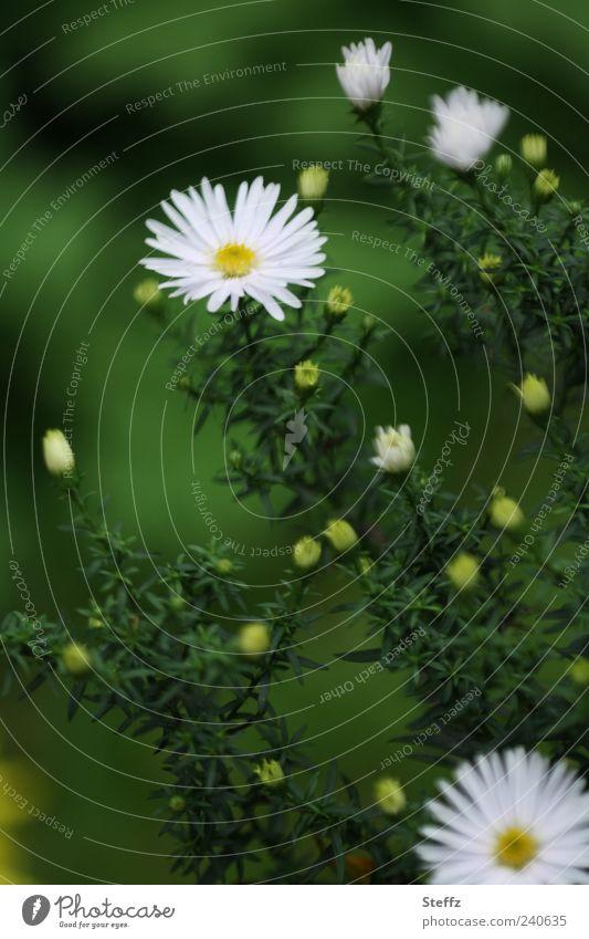 aus dem Grünen heraus Natur Pflanze Blume Sträucher Blatt Blüte Blütenblatt Blütenknospen Gartenpflanzen Astern Stauden Blühend natürlich grün weiß dunkelgrün