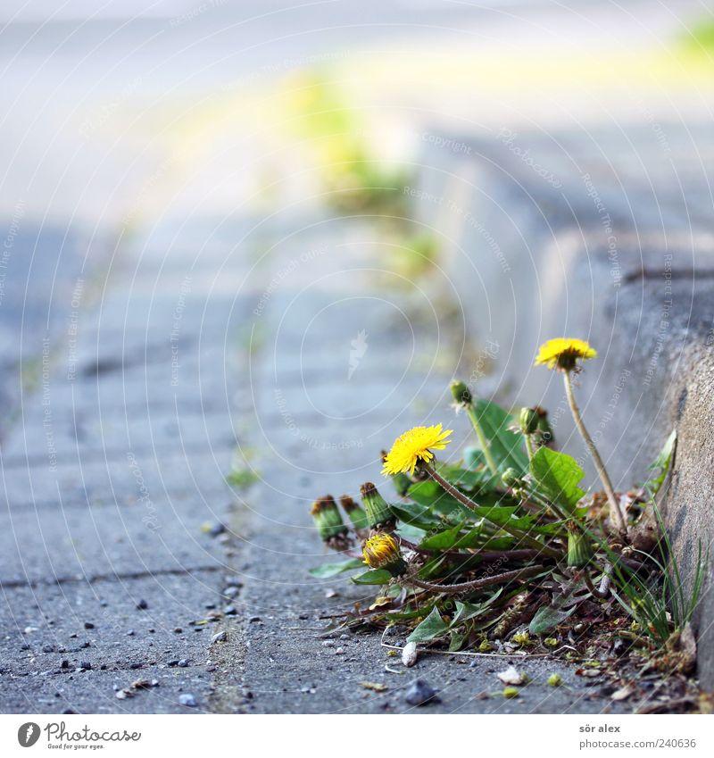 unscheinbar Umwelt Pflanze Blume Blatt Blüte Löwenzahn Straße Straßenrand Bordsteinkante Pflastersteine Stein Blühend Wachstum frisch natürlich schön wild gelb