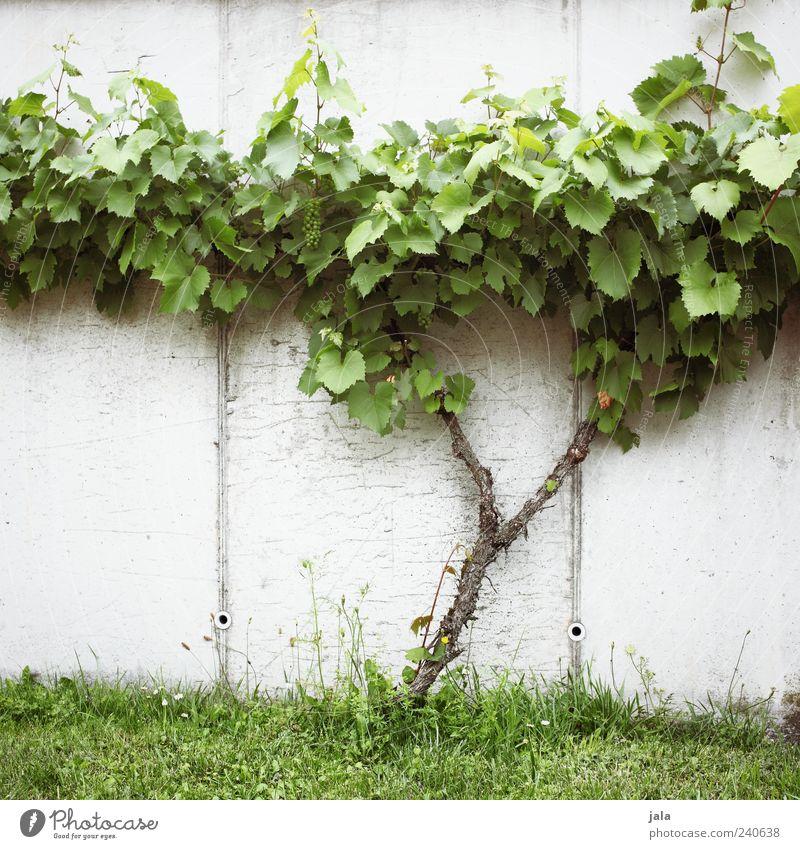 rebe Natur Pflanze Blatt Wiese Wand Gras Mauer Frucht Fassade lecker Grünpflanze Weintrauben Nutzpflanze