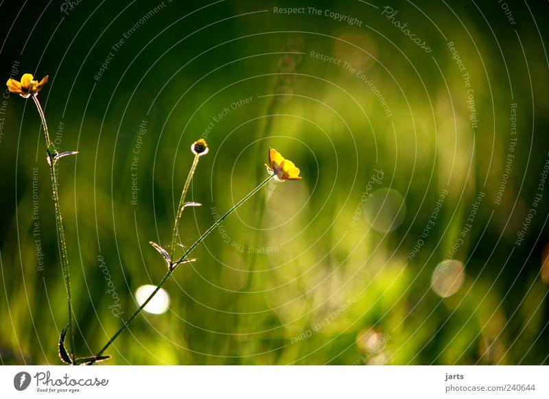 silence Natur Blume Pflanze Sommer ruhig Wiese Gras Zufriedenheit natürlich Warmherzigkeit Duft Schönes Wetter Geborgenheit Wildpflanze
