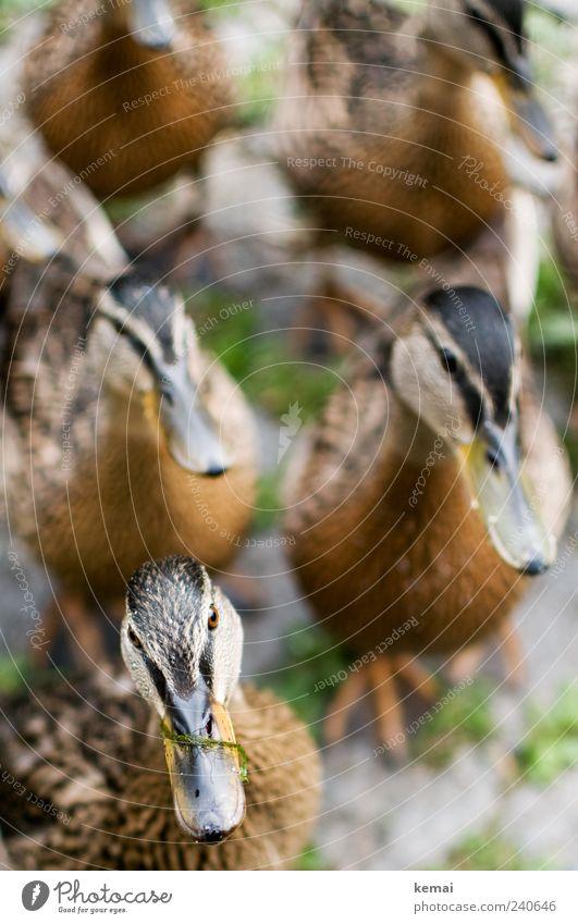 Armee der hungrigen Ententeenager Natur Tier Auge Umwelt Park warten Wildtier Tiergruppe niedlich Tiergesicht Neugier nah Interesse Schnabel Schwarm
