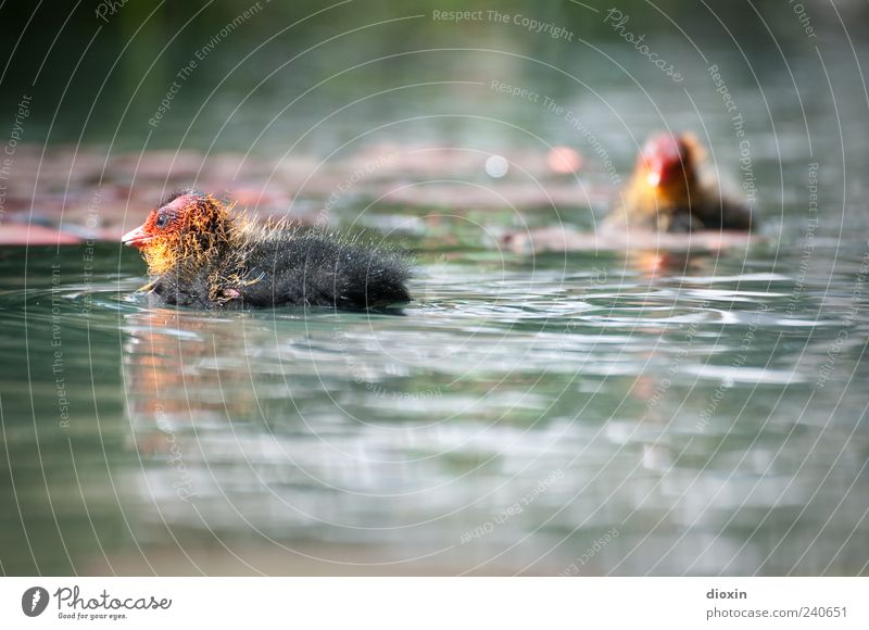 Blässhuhn-Babies Wasser Park See Wildtier Vogel Teichhuhn Küken 2 Tier Tierjunges Schwimmen & Baden klein Farbfoto Außenaufnahme Menschenleer Unschärfe