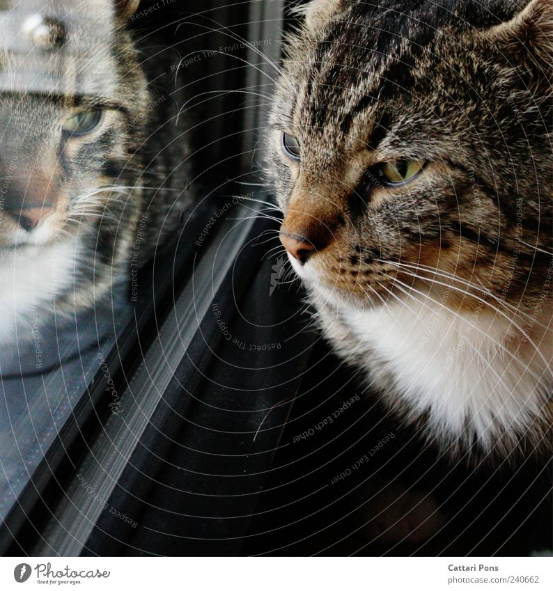 not alOne Tier Haustier Katze Tiergesicht beobachten dunkel einzigartig nah Neugier niedlich Hauskatze Reflexion & Spiegelung Fenster Fell Glas Fensterscheibe
