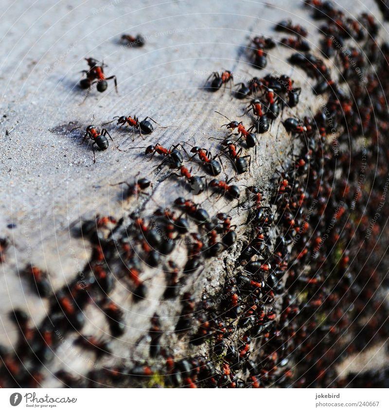 geordnetes Gewimmel Wildtier Ameise Holz Arbeit & Erwerbstätigkeit laufen Zusammensein klein schwarz Team Teamwork Zusammenhalt viele mehrere fleißig Waldameise