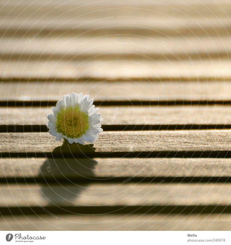 Schönes Wochenende! Pflanze Frühling Sommer Blume Blüte Gänseblümchen Tischplatte Furche Linie Holz Blühend liegen Duft schön natürlich Glück Natur